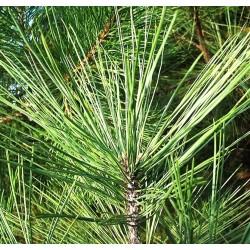 Sosna czarna (Pinus nigra) - Goły korzeń