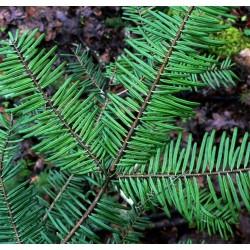 Jodła olbrzymia (Abies grandis) 4 lata