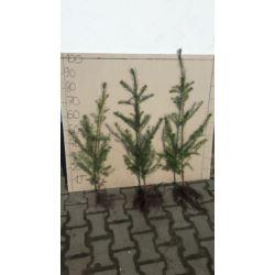 "Daglezja zielona ""Pseudotsuga menziesii"" 70-100 cm"
