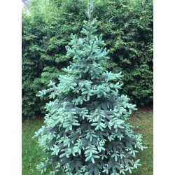 Świerk srebrny ( Picea Pungens) 100-140 cm