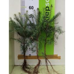 Jodła kalifornijska (Abies concolor) 4 lata 30-40