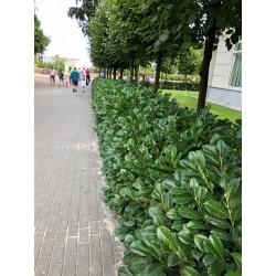 Laurowiśnia wschodnia 'Caucasica' (Prunus laurocerasus) 30-50cm