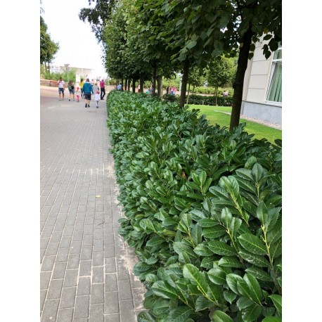 Laurowiśnia wschodnia 'Caucasica' (Prunus laurocerasus) 50-80cm