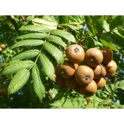 Jarząb domowy - Sorbus domesticaL. 30/50cm