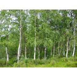 Brzoza (Betula Pendula) 200-300cm