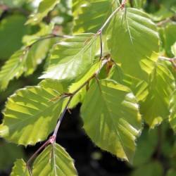 Buk pospolity (Fagus sylvatica) 80-100 cm szkółkowany