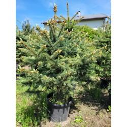 Świerk srebrny (Picea Pungens) 100-120 cm doniczka