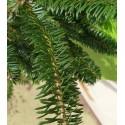 Jodła balsamiczna ( Abies Balsamea) 50-70cm Doniczka