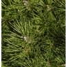 Sosna czarna (Pinus nigra) 60-90 cm