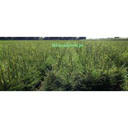 Świerk pospolity (Picea abies) 4 lata 70-100 cm