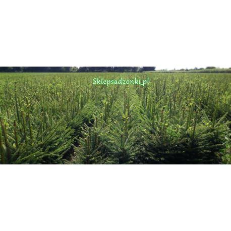 Świerk pospolity (Picea abies) 4 lata 70-100