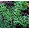Jodła olbrzymia (Abies grandis) 30-50 cm