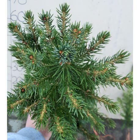 Świerk srebrny (Picea pungens) 4 lata 20-40 cm