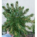 Świerk srebrny (Picea pungens) 4 lata 25-40 cm