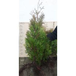 Tuja Brabant (Thuja occidentalis brabant) 100-120+ cm