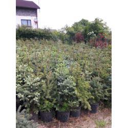 Świerk srebrny (Picea pungens) 70-100 cm