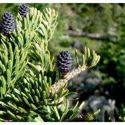 Jodła górska (Abies Lasiorcapa) 20-35 cm