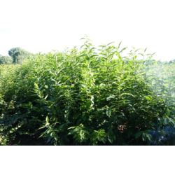 Kasztan Jadalny sadzonka  (Castanea sativea)50-80cm