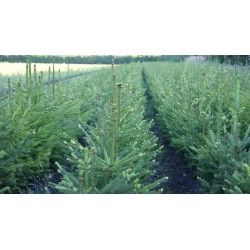 Świerk pospolity (Picea abies) 4 lata 50-70 cm