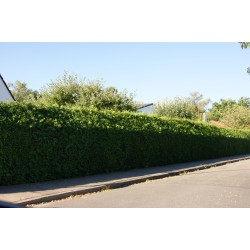 Tuja Brabant (Thuja occidentalis) 80-100cm