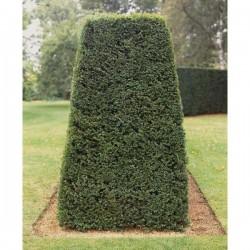 Cis pospolity (Taxus bacatta)30-50cm