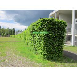 Grab pospolity (carpinus betulus) 100-140 cm