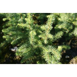 Świerk serbski (Picea omorica) 5 lat 50-80 cm