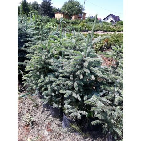 Świerk srebrny (Picea Pungens) 50-80 cm