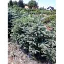 Świerk srebrny (Picea Pungens) 50-80 cm doniczka