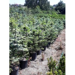 Świerk srebrny (Picea Pungens) 100-120 cm