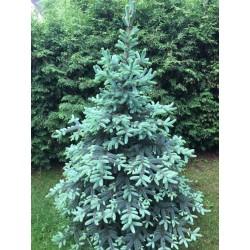 Świerk srebrny (Picea Pungens) 100-140 cm