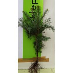 Jodła kalifornijska (Abies concolor) 3 lat 20-30cm
