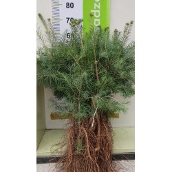 Jodła Kalifornijska ( Abies concolor) 5lat 50-80cm