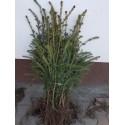 Świerk sitkajski ( Picea Sitchensis) 4 lata