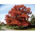 Dąb czerwony (Queras Lubra) 50-70 cm