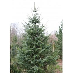 Świerk sitkajski +120cm (Picea Sitchensis)