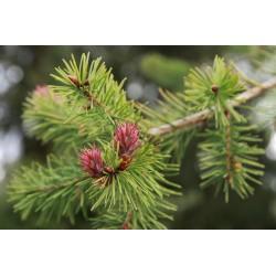 Daglezja zielona (Pseudotsuga menziesii) 15/20cm DONICZKA