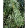 Sosna HIMALAJSKA SADZONKI Pinus wallichiana