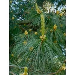 Sosna himalajska (Pinus wallichiana) 10-20 cm