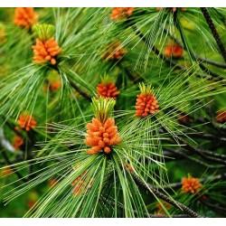 Sosna Wejmutka Pinus Strobus