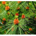 Sosna Wejmutka (Pinus Strobus) 30-60 cm