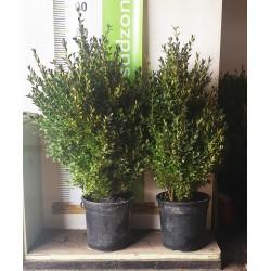 Bukszpan wieczniezielony (buxus sempervirens) 40-60 cm