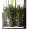 Bukszpan wieczniezielony (buxus sempervirens) 40-60 cm DONICZKA