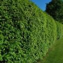 Buk pospolity (Fagus sylvatica) 70-100 cm