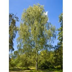 Brzoza (Betula Pendula) 60-100 cm