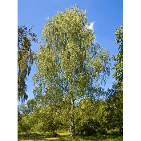 Brzoza (Betula Pendula) 40-60 cm