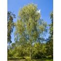 Brzoza (Betula Pendula) 80-120 cm