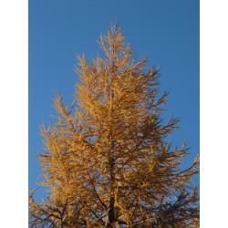 Modrzew Europejski - Larix Decidua 80-120cm