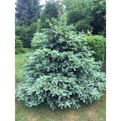 Świerk srebrny (Picea pungens)  40-70 cm