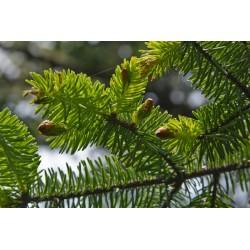 Świerk sitkajski ( Picea Sitchensis) 30-50 cm